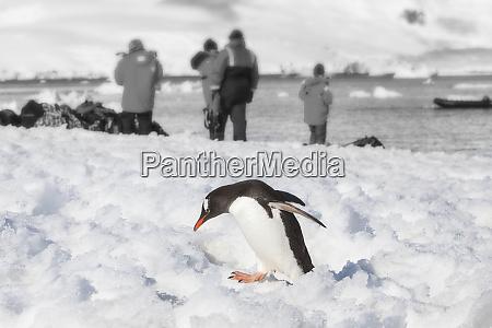 antarctica gentoo penguin sneaks away from