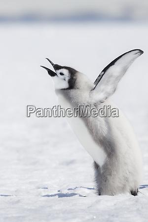 cape washington antarctica an emperor penguin