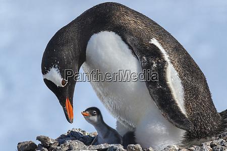 antarctica antarctic peninsula jougla point gentoo