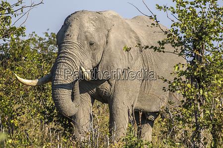 africa botswana savute game reserve bull