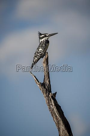 africa botswana chobe national park kingfisher