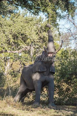 africa botswana moremi game reserve elephant