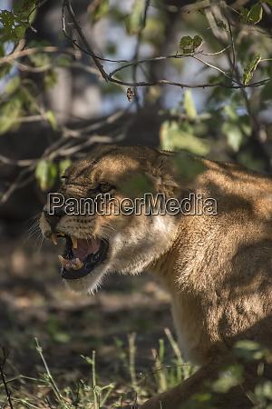 africa botswana moremi game reserve snarling