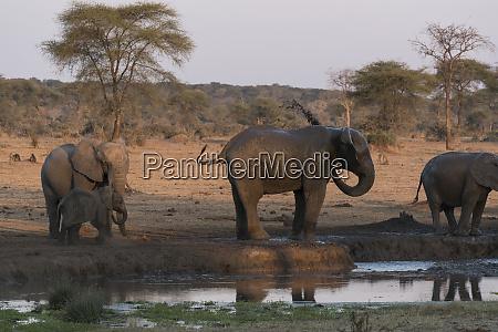 a baby elephant loxodonta africana frolicking