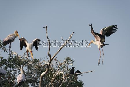 a yellow billed stork mycteria ibis