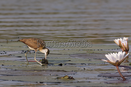 an african jacana actophilornis africanus feed