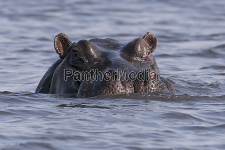 a large hippopotamus hippopotamus amphibius watches