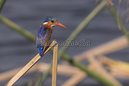malachite kingfisher alcedo cristat perched on