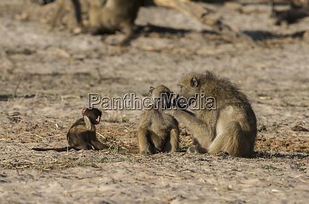 botswana africa chacma baboons grooming