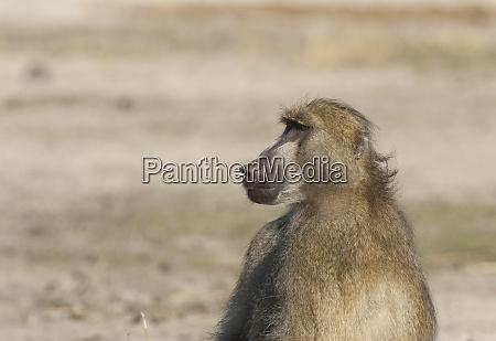 botswana africa chacma baboon