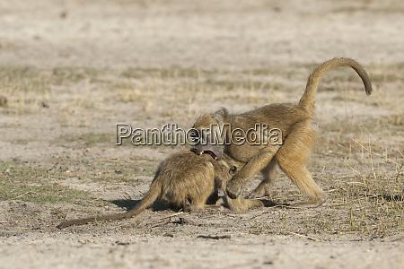 botswana africa two chacma baboons fighting