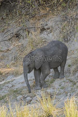 botswana africa african elephant calf