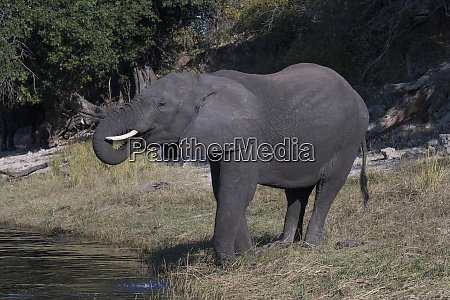botswana africa african elephant drinking from
