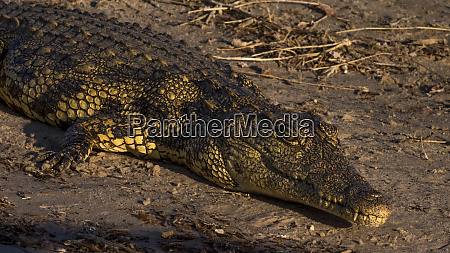 botswana africa nile crocodile