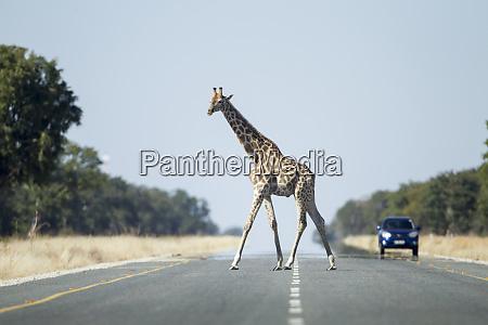 africa botswana kasane giraffe giraffa camelopardalis