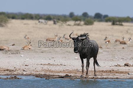 blue wildebeest connochaetes taurinus nxai pan