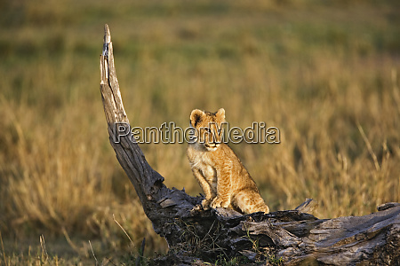 lion cub on log panthera leo