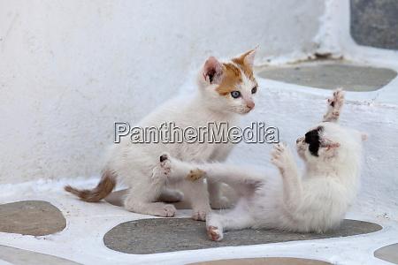 greece mykonos kittens playing