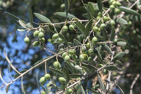 olive tree athens greece europe