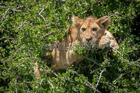 lion cub lies in tree staring