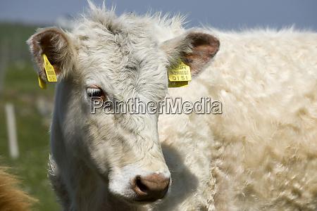 ireland county mayo barnabaun point cow