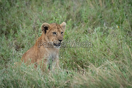 lion cub sits in grass facing