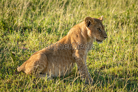 lion cub sits in grass looking