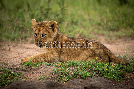 lion cub lies on sand looking