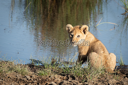 lion cub on riverbank turns to