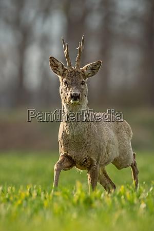 roe deer capreolus capreolus buck in
