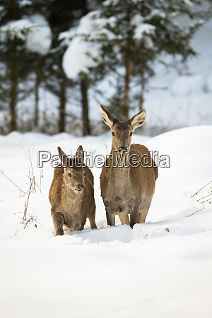 red deer hind and calf wading