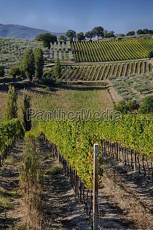 vineyards and olive groves draping hillsides