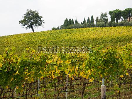 italy tuscany chianti autumn vineyard rows