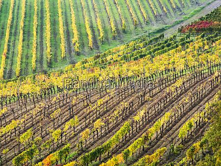 italy montepulciano autumn vineyard in full