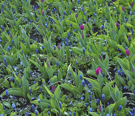 pink tulips and blue grape hyacinth