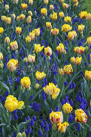 netherlands lisse keukenhof gardens lupine and