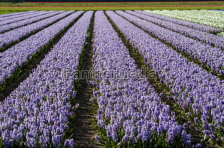 rows and rows of hyacinths