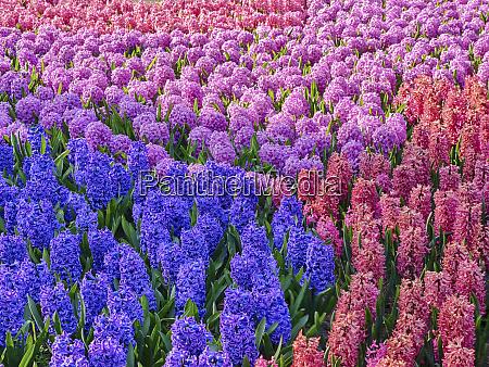 mass of hyacinths on display