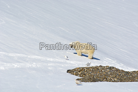 norway svalbard hornsund burgerbutka polar bear
