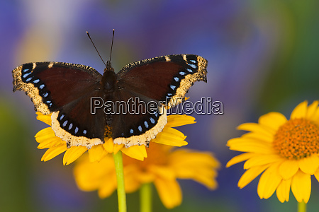 mourning cloak butterfly nymphalis antiopa