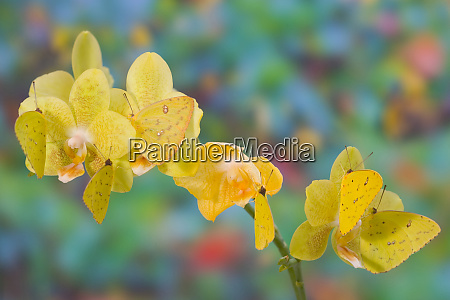 six yellow sulfur butterfly hanging on