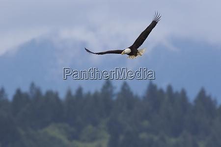 bald eagle mountain environment