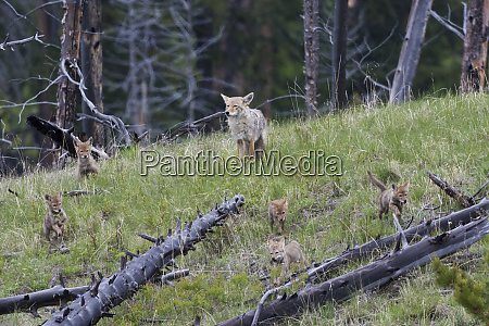 playful coyote family