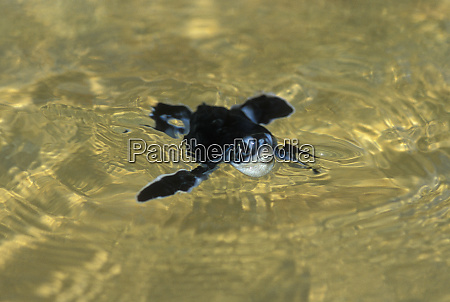 green turtle chelonia mydas hatchling swimming
