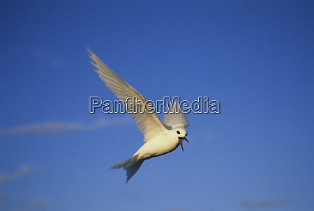 common fairy tern gygis alba hovering