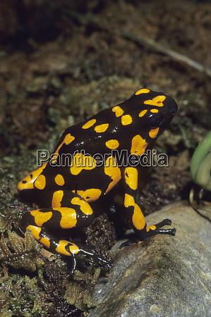 harlequin poison dart frog dendrobates histrionicus