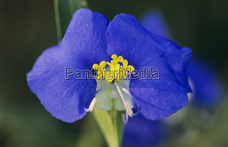 erect dayflower commelina erecta blossom welder