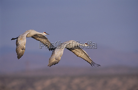 sandhill crane grus canadensis adult and