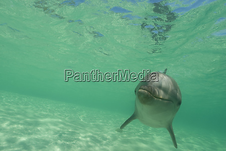 bottlenose dolphins tursiops truncatus caribbean sea