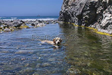 labrador swimming in fresh water creek